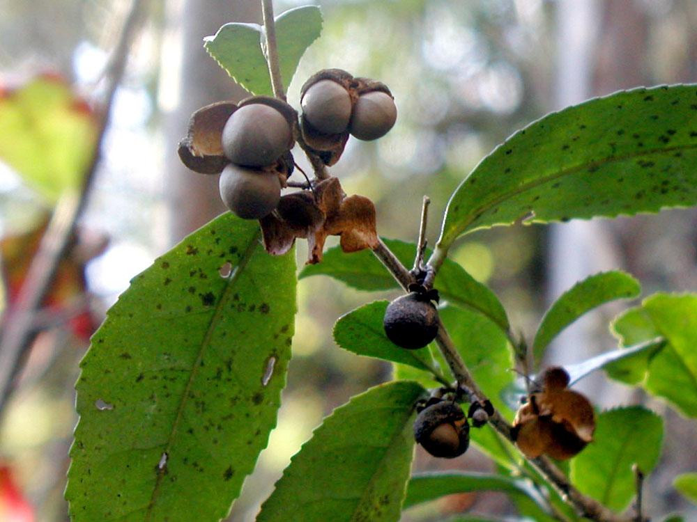 ※チャノキ(茶の木 / チャの木 / 茶樹 ) Teepflanze : ツバキ科ツバキ属の常緑